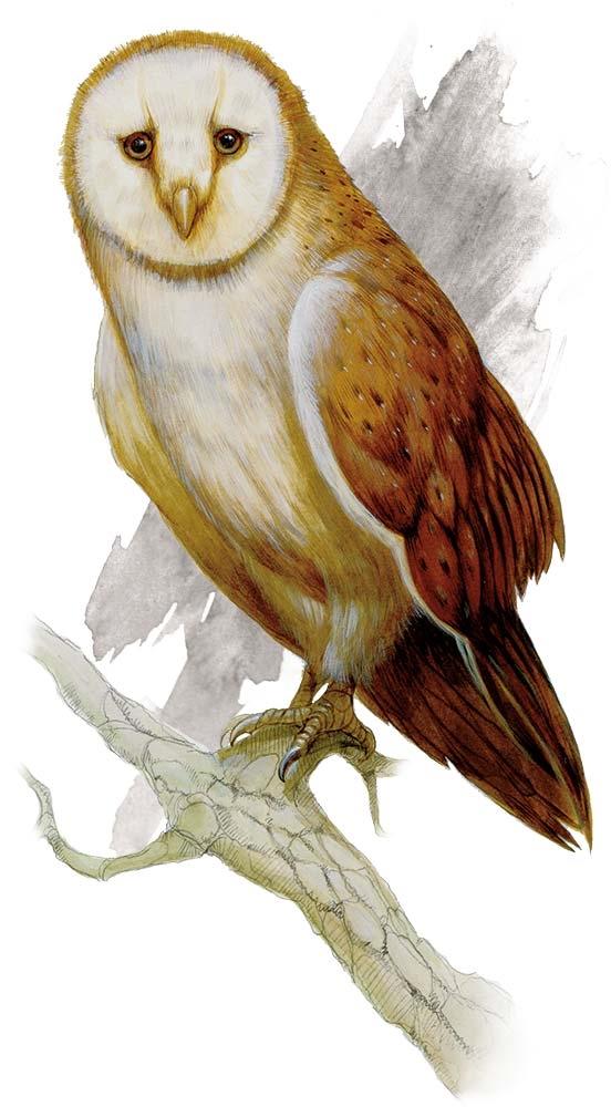 Owl Monsters Dd Beyond