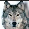 Wolfmind's avatar